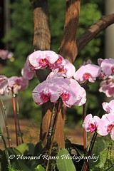 Longwood Orchid & Winter 2017 (42) (Framemaker 2014) Tags: longwood gardens kennett square pennsylvania chester county southeastern orchids winter united states america