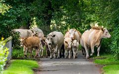 Trampled Underfoot (dangerousdavecarper) Tags: cattle heifers calfs escaped herd