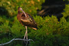 Glossy Ibis (Mark Schwall) Tags: plegadisfalcinellus glossyibis newjersey nj nikon southernnewjersey rookery heronry d500 nikkor600mmais manualfocus bird wadingbird goldenhour wildlife markschwallphotographycom sunrays5