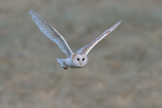 Barn Owl (2 of 2)