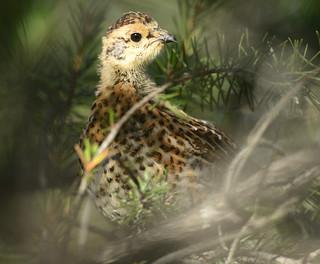 Tétras du Canada juvénile - Spruce Grouse