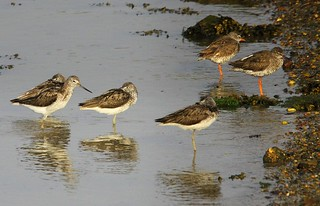 Waders at Stutton Mill