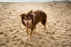 SZP_8938_pslr5 (Lakeside Annie) Tags: 2017 20170719 aussie australianshepherd bethanybeach bethanybeachde bethanybeachdelaware d7100 delaware denali july19 leannefzaras nikon nikond7100 redtri redtriaussie sarazphotography sigma sigma1770mm wednesday beachdog dog sandynose sandypaws beach delawarebeach