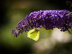 Hanging around (ursulamller900) Tags: mygarden gonepteryxrhamni pentacon28100 butterfly schmetterling zitronenfalter bokeh sommerflieder sommer summer insekt