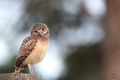 Huh? (Megan Lorenz) Tags: burrowingowl owl owlet bird avian birdofprey nature wildlife wild wildanimals travel 2017 florida mlorenz meganlorenz