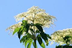 Angelica (vischerferry) Tags: angelica wildflower flower plant whiteflower shrub medicinalplant flora