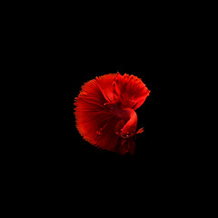 The Art of Siamese fighting betta fish movement black background (sayandutta2) Tags: isolated aquatic dragon aggressive white tail power fighting luxury aquarium black abstract dress color blue colorful betta beauty motion siamese art beautiful background domestic water space fish nature pet exotic animal