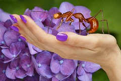 Purple Fingernails (swong95765) Tags: hand fingernails hydrangea insect ant nailpolish flowers
