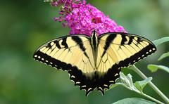 Eastern Tiger Swallowtail (mmorriso2002) Tags: butterfly easterntigerswallowtail insect flyinginsect gardeningforbutterflies nature wildlife backyardhabitat newjersey