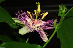Passiflora Incarnata - small flower (_pkm_photography (thanks for 750K views)) Tags: pkmphotography2017 dslr nikon d700 nikond700 tokina atxprotokinamacro100f28d sooc passiflora
