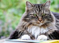 Man kann im Leben auf vieles verzichten, (SpitMcGee) Tags: lizzi zuckerschnecke katze cat pet bücher books lesen read spitmcgee