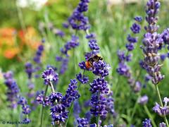 Biene besucht Lavendel! (magritknapp) Tags: lavendel biene königlichegartenakademie berlin steglitz lavender bee royalgardenacademy lavande royalacademygarden lavanda