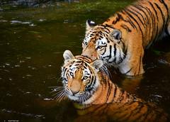 Die Wassertiger Dasha & Arila.... :-) (sigridspringer) Tags: tiere säugetiere raubtiere raubkatzen sibirische tiger dasha mit tochter arila eine von den tigerzwillingen duisburger zoo