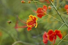 Bee on Pride of Barbados (ronmcmanus1) Tags: antigua flowersplants nature outdoors jollyharbour stmarysparish antiguabarbuda