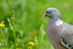 Wood Pigeon (parry101) Tags: south wales southwales nature geraint parry geraintparry wildlife cardiff forestfarm forest farm sigma sigma150600 150600 150600mm nikond500 d500 animal animals bird birds pigeon wood woodpigeon