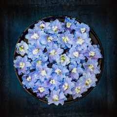 Delphinium on blue (photoart33) Tags: flowers blue summer delphinium stilllife square
