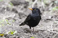 sD40_6418 (Eyas Awad) Tags: eyasawad nikond4 sigma500f45 bird birds birdwatching wildlife nature merlo turdusmerula