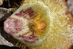 Petal of a Late-flowered Mariposa Lily (Calochortus fimbriatus) (Treebeard) Tags: petal gland latefloweredmariposalily calochortusfimbriatus liliaceae eastcaminocielo santaynezmountains santabarbaracounty california macromondays memberschoicetexture