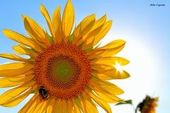 Tanta bellezza esce dai miei occhi...1 (michelecipriotti) Tags: bologna campagna campo girasoli colori insetto sole tramonto cielo azzurro fiori bellezza