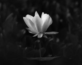 Summer. White Lotus Flower