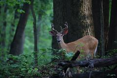 White-tailed Deer (buck) (ashockenberry) Tags: deer whitetailed buck antlers nature wildlife
