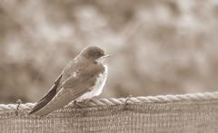 Raindrops keep falling on my head (Kapturedbythelenz) Tags: swallow raindrops wildlife nature flickr