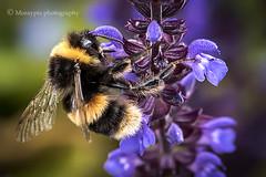 Busy bee… (moraypix) Tags: bumblebee salvia nectar pollen macro gossamerwings nikond750 nikon10528lens moraypix photography jimmacbeath moraypixphotography coveredinpollen