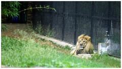 Royal Resting... (dany kallery) Tags: lion mysore zoo majesty king jungle minolta secrethandshake 28135 sonya7 ilce7 travel photography laea4