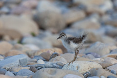 Spotted sandpiper chick (getting back ( slowly )) Tags: spotted sandpiper chick