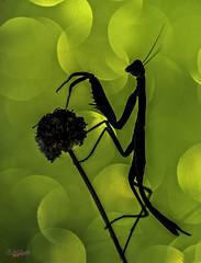 Hell shadows (gatomotero) Tags: olympusomdem1 mzuiko60 bokeh ambiente nature macrofield sombras oscuridad mantis luces flares aliste zamora