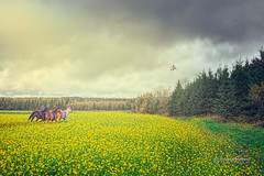 Morning on the prairie (Dragan Milovanovic photography) Tags: canada sunrise fog morning spring nature outdoor tree colors sony mood quebec misty scenery foggy easterntownships estrie cantonsdelest draganmilovanovicphotography sky horses goose geese sonya57 fields flying rural clouds country