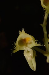 Catasetum discolor (robertoguerra10) Tags: orchid orchids orquidea terrestre terrestrial catasetum catasetineas