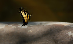 """""""In Flight"""" (ashockenberry) Tags: butterfly tiger swallowtail nature naturephotography lepidoptera flight winged"""