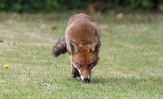 Fox (cogs2011) Tags: fox sigma grass red 150600c canon