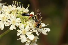 Ichneumon sp. ♀ (Wasp) - Guernsey. (Nick Dean1) Tags: hymenoptera wasp sawfly bee bumblebee animalia arthropoda arthropod hexapoda insect insecta macro canon canon7d guernsey channelislands greatbritain