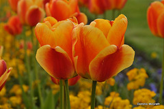 Orange to Red. (mcgrath.dominic) Tags: tulips powerscourt cowicklow