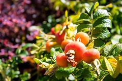 POTD Day 3 - Tomato (Joe Gransinger) Tags: nature vegetable fruit plant green red tomato tomatoes purple leaves flowers summer sunshine