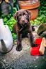 Lemon // brown labrador puppy (Merlijn Hoek) Tags: dog dogs animal animals puppy pup hond hondje honden small nikon nikkor camera kamera full fullframe d810 nikond810 fullframedigitalslr digitalslr slr 35mmformat 36×24mm 35mm 36megapixel digitalsinglelensreflex merlijnhoek merlijn hoek fotograaf fotografie photographer photography man autodidact amsterdammer dof depth depthoffield scherptediepte