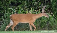 Arabian progeny (Lindell Dillon) Tags: buck deer whitetail wildlife nature oklahoma lindelldillon