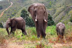 Elephant family (dreamer2207) Tags: canon600d 600d canon trunk elephantfamily safari sa gamereserve bottlierskopgamereserve bottlierskop tusks africanelephant family southafrica elephant