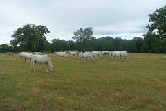 Lippizaner Horses, Slovenia (Ruth&Michiel) Tags: slovenië slovenia paard paarden horse horses lippizaner lippizan wit white riding merrie studfarm