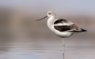 Awesome Avocet