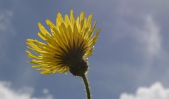 SunSeeker (Tony Tooth) Tags: nikon d7100 nikkor 40mm macro yellow flower blue sky simplicity elworth cheshire