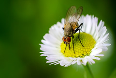Fly (svklimkin) Tags: fly flower insect drosophila pollen nature chamomile