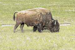 Bison Feeding II (rschnaible) Tags: yellowstone national park west western us usa wyoming sightseeing outdoor landscape bison wildlife animal wild