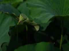 GFX06477 (Zengame) Tags: fujifilm fujinon gf gf63mm gf63mmf28rwr gfx gfx50s shinobazupond ueno flower fuji japan lotus tokyo ハス フジ フジノン 上野 不忍池 富士 富士フイルム 日本 東京 花 蓮 台東区 東京都 jp