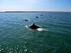 Dolphins (John of Wirral) Tags: bottlenose dolphins lancashire coast irishsea formby ainsdale marine mammals lunatic voyage
