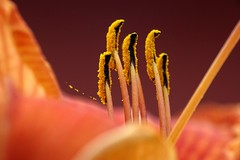 The treasure of the Lily (Herr Nergal) Tags: flower macro makro close up hx400v sony raynox 150 deutschland saarland