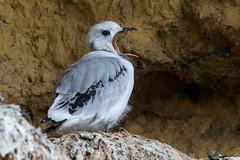 Big Mouth (Simon Stobart) Tags: kittiwake chick rissa fridactyla nest sat cliff mouth open large northeast england ngc npc