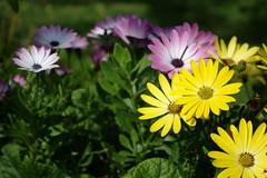 Osteospermum (dididumm) Tags: colorful summer sunshine purple yellow flower garden osteospermum kapkörbchen kapmargerite garten blume gelb lila sonnenschein sommer bunt